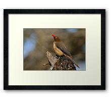 Red-billed Oxpecker Framed Print