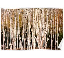 Anglesey Birches Poster