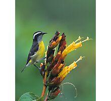 Bananaquit Photographic Print