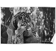tiger portrait b/w 3 Poster