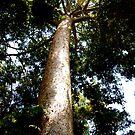 Tall Tree by Maximus
