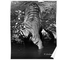 tiger in b/w Poster