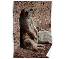 Those lazy meerkats! Poster