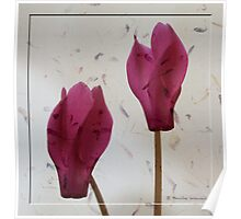 The beauty of cyclamen flowers Poster