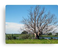 lithgow tree Canvas Print