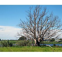 lithgow tree Photographic Print