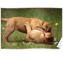 dogue de bordeaux puppies playing Poster