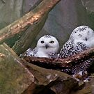 Two Owls by Vac1