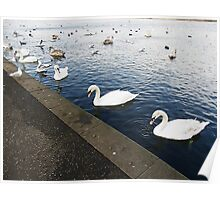 Swans in a Row Poster