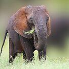 elephant grass by ajay2011