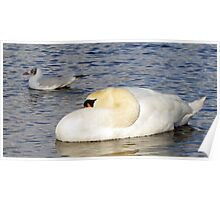 Sleeping Swan on the Pond Poster