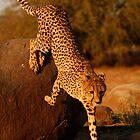 Cheetah by Jane Horton