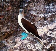 Blue Footed Booby by Pete RG