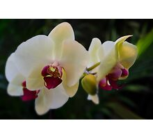 Orchid Phalaenopsis Photographic Print
