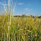 Wheat Field by evergleammm