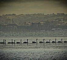 A Swans Journey by LJ_©BlaKbird Photography