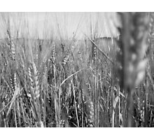 Black and White Wheat Photographic Print