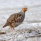 "Member of the ""Group of Seven"" - Gray Partridge :) by Bill McMullen"