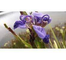 Flowers Purple Iris  Photographic Print