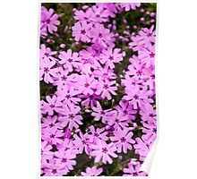 Pink Phlox Flowers Poster