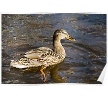 Mallard Duck Art Decor Poster