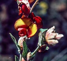Pea type flower Hester 198208260046 by Fred Mitchell
