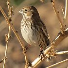 Lark Bunting (Non-breeding) by Kimberly Chadwick