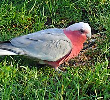 Galah. Cedar Creek, Queensland, Australia. by Ralph de Zilva