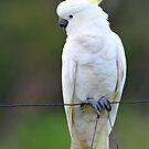 Sulphur Crested Cockatoo. Cedar Creek, Queensland, Australia. (3) by Ralph de Zilva