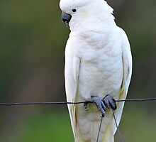 Sulphur Crested Cockatoo. Cedar Creek, Queensland, Australia. (3) by Ralph de Zilva