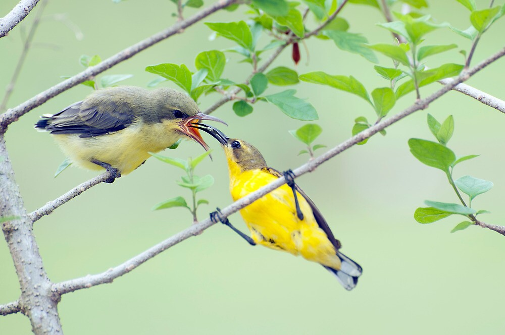 Grubs Up - sunbird feeding babes  by Jenny Dean