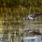 Lesser Yellowlegs by Robbie Knight