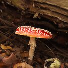 Fly Agaric - Amanita Muscaria by Christopher Cullen