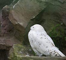 Snow Owl by Vac1