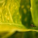 The Fly... by jean-jean