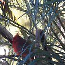 Cardinal by Junebug60