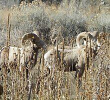 Big Horn Sheep - Burnt River Canyon, Oregon, USA by suepete