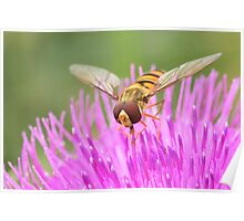 Hoverfly feeding on thistle Poster
