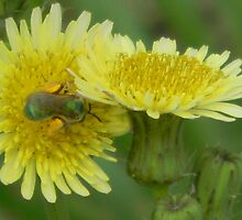 Dandelion (or Prickly Sow-Thistle) and Hiding Metallic Green Bee! by Navigator