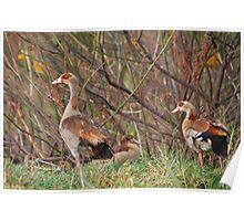 Egyptian Geese Family Poster