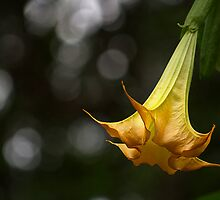 Orange Trumpet by Kim Andelkovic