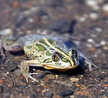 Spotted Marsh Frog by Natalie Ord