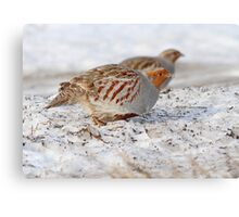 Today's Forecast: Overcast with Periods of Gray Partridge ;) Canvas Print