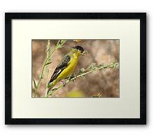 Lesser Goldfinch (Male) Framed Print