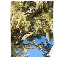 hanging mosses Poster