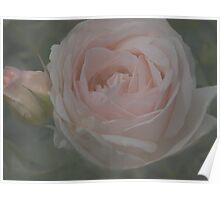 Soft Pink Rose and Bud Poster