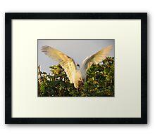 Corella Wingspan Framed Print