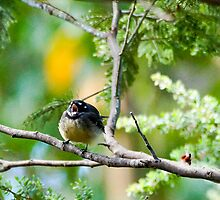 Grey fantail in mid chirp by Ron Co