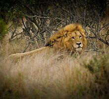 Lion by Emma  Gilette
