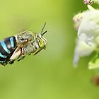 Blue Banded Bee In Flight by karthikphotos